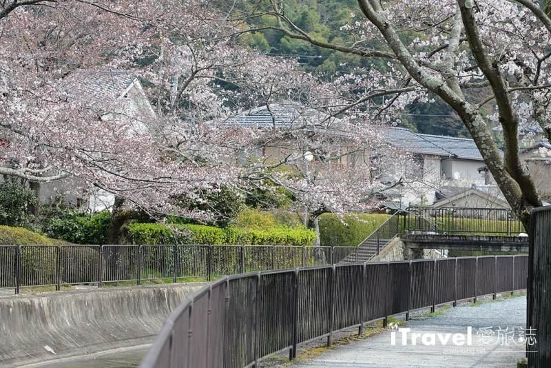 《京都賞櫻景點》山科疏水陌上櫻花開,享受晨光灑落的靜謐美景