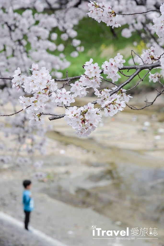 《奈良賞櫻景點》高田川千本櫻:大和高田市水岸櫻花隧道間,享受野餐賞櫻與好友相聚樂趣