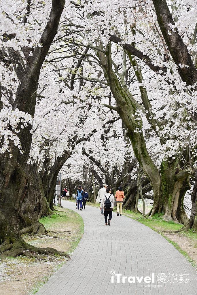 《京都賞櫻景點》八幡市背割堤:絕美櫻花林道邀你共賞盛開與吹雪,2017年交通與活動資訊分享。