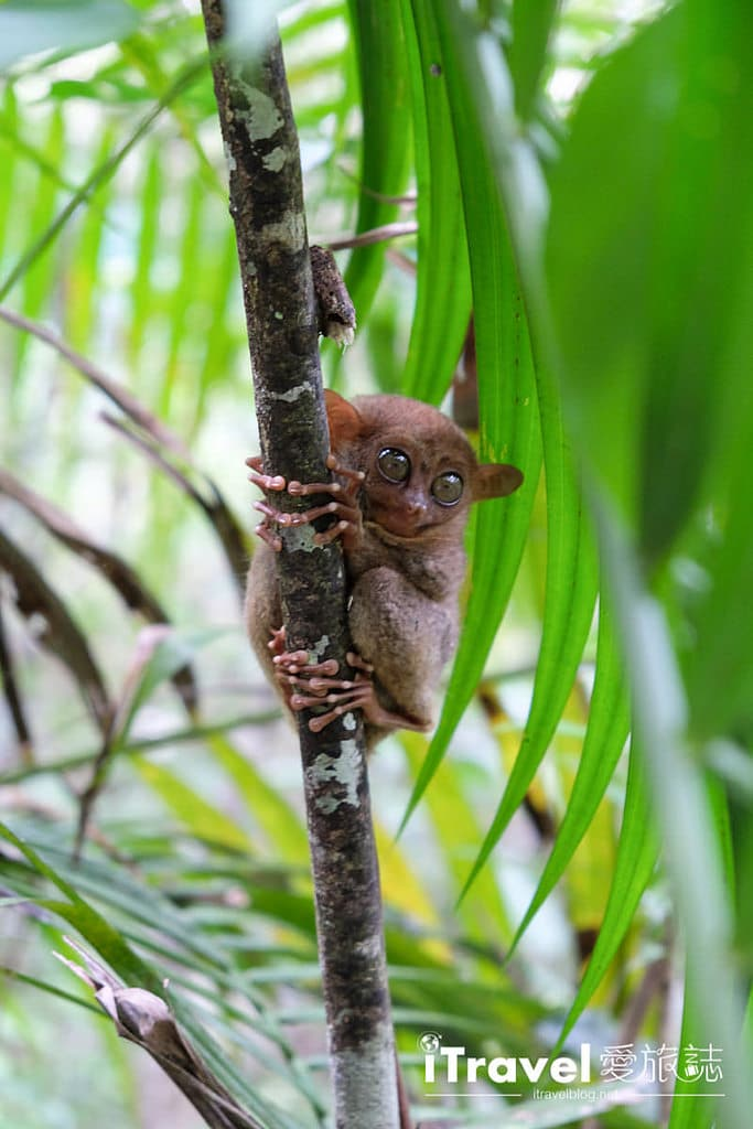 《菲律賓薄荷島》眼鏡猴保育中心 Tarsier Sanctuary:小精靈的近距離接觸,頗負教育意義的親子旅行景點