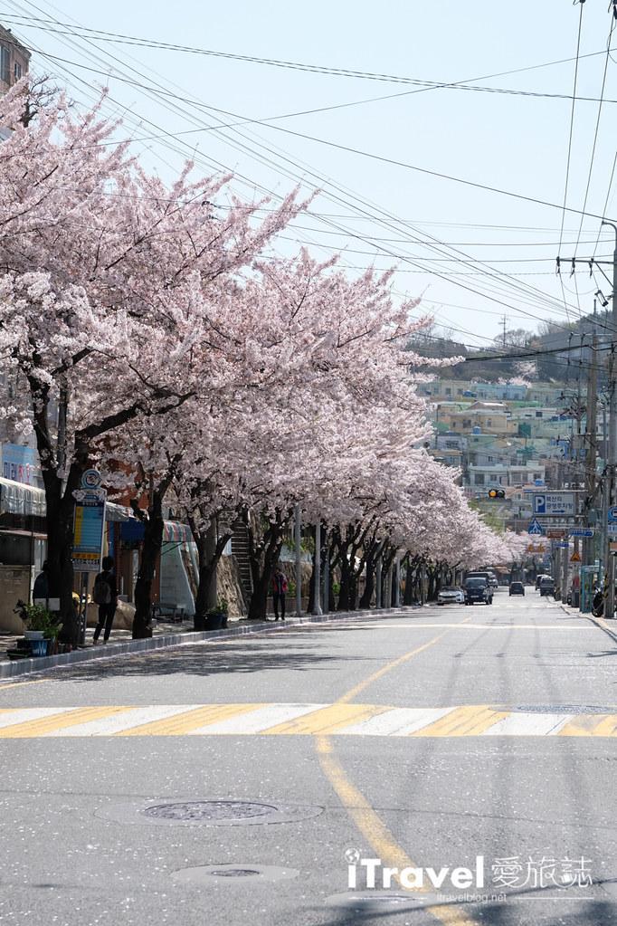 釜山賞櫻景點 東大新洞望洋路 (24)