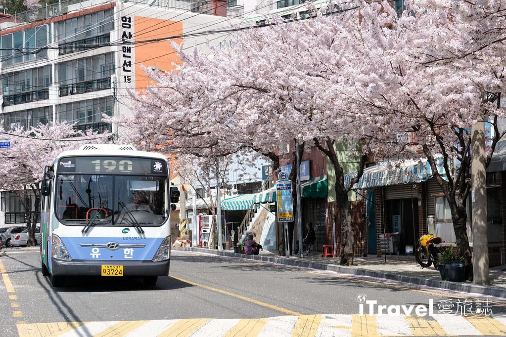 釜山賞櫻景點 東大新洞望洋路 (46)