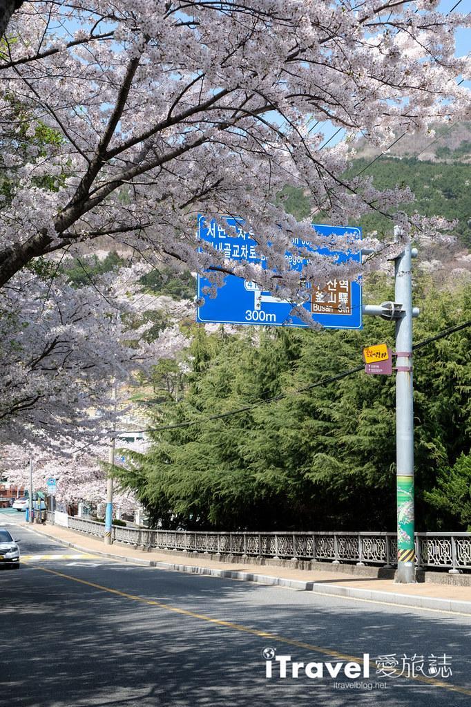 釜山賞櫻景點 東大新洞望洋路 (60)