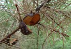 open seed pod