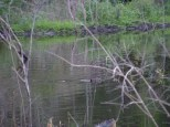 beaver swims in pond 7 22