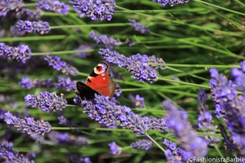 lavender-farm-very-dress-13