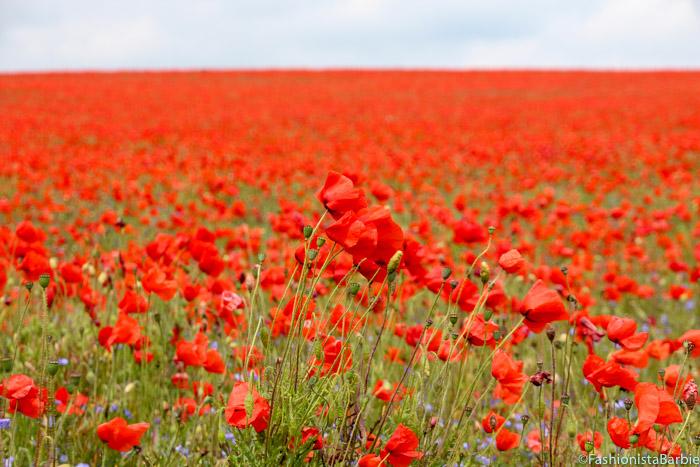poppies, poppy, red, field of poppies, poppy field, red field,