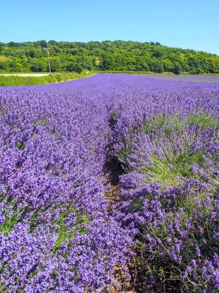 Lavender, Kentish Lavender, Lavender Fields, Kent Life, Kent