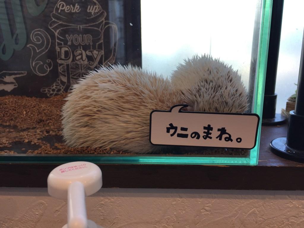 albino hedgehogs at hedgehog cafe japan