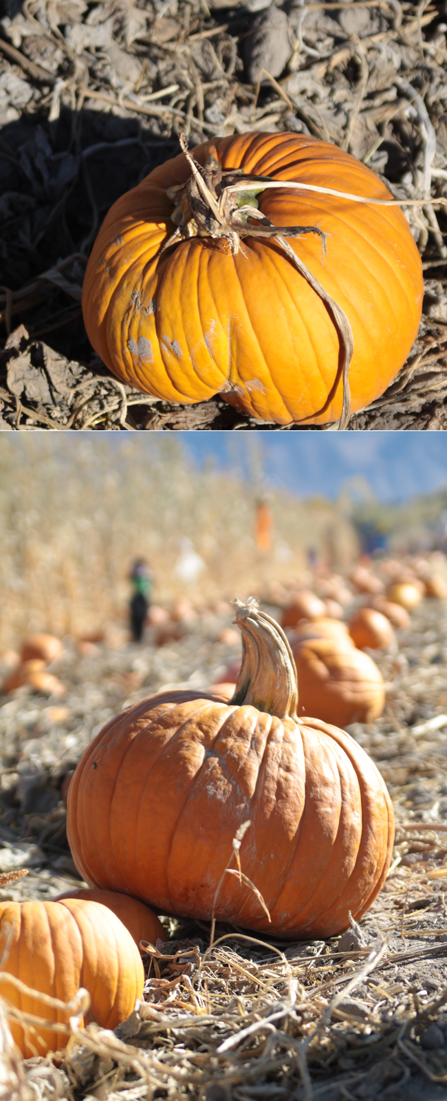 snapshot of pumpkin in patch; photo of pumpkin taken so you can see the row of pumpkins behind it as well