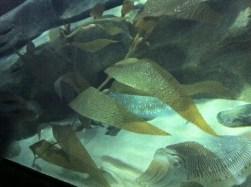 cuttle fish
