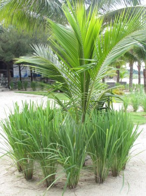 Lemon grass surrounding the Gading coconut tree