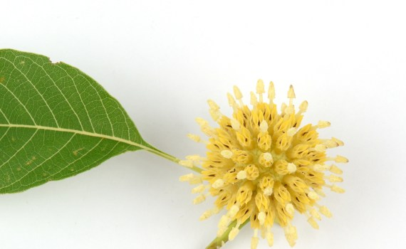 A kratom leaf and flower