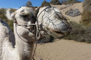 gran-canaria-maspalomas-kamel