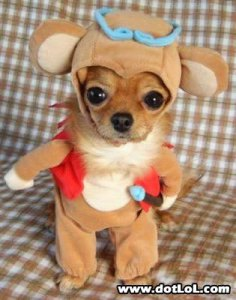 chihuahua-in-bear-costume