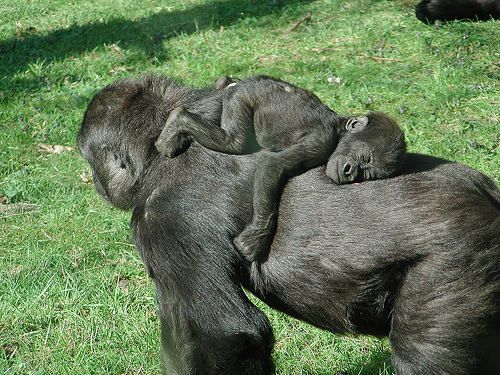 gorilla_baby_sleeping-on-mother