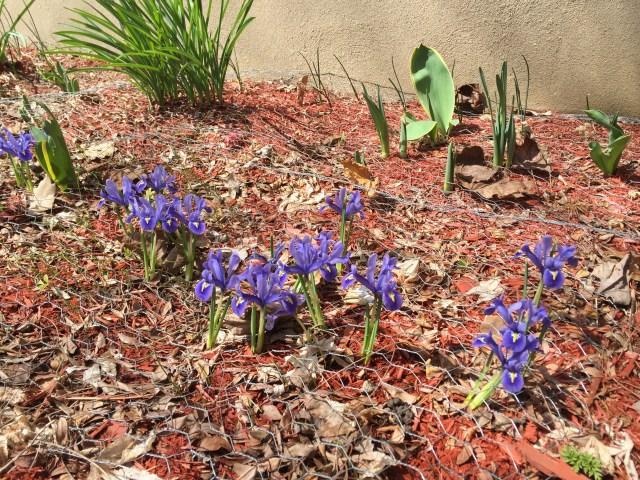 spring-irises