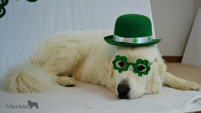 Great Pyrenees on St. Patrick's Day