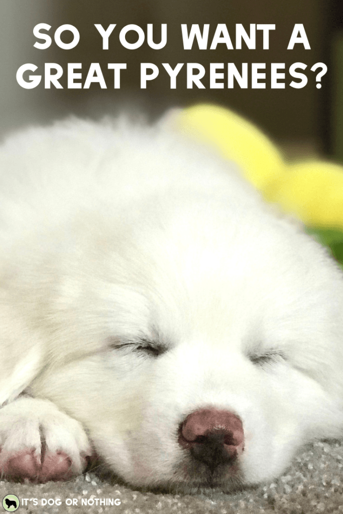 5 Things I Wish People Knew About Great Pyrenees (before bringing one home) | It's Dog or Nothing