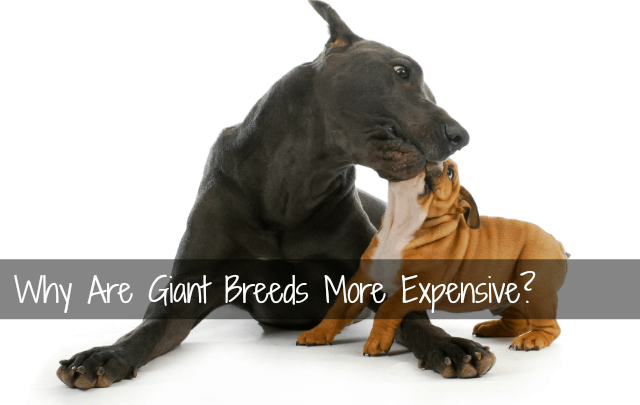 Why are giant breeds more expensive? It's not just the food.