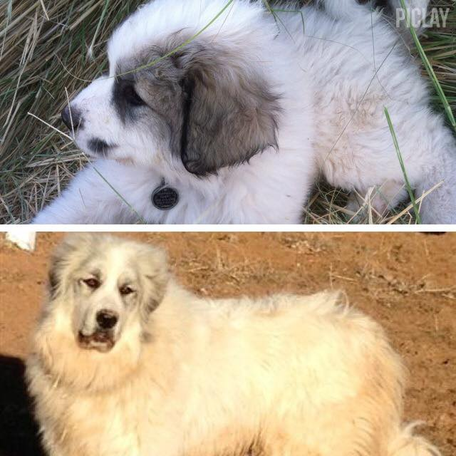 Cassie Mason Hawkins-Hubbard's Gabriela. On Facebook at White Mountain Pyrenees of Halo Acres!