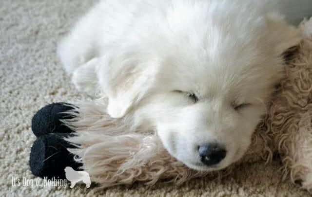 Sleepy Great Pyrenees Puppy
