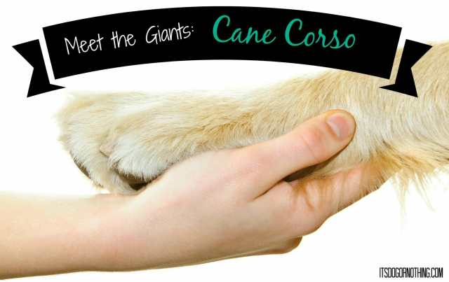 This week on Meet the Giants, we're talking about the Cane Corso! Read more for tons of fabulous breed information!