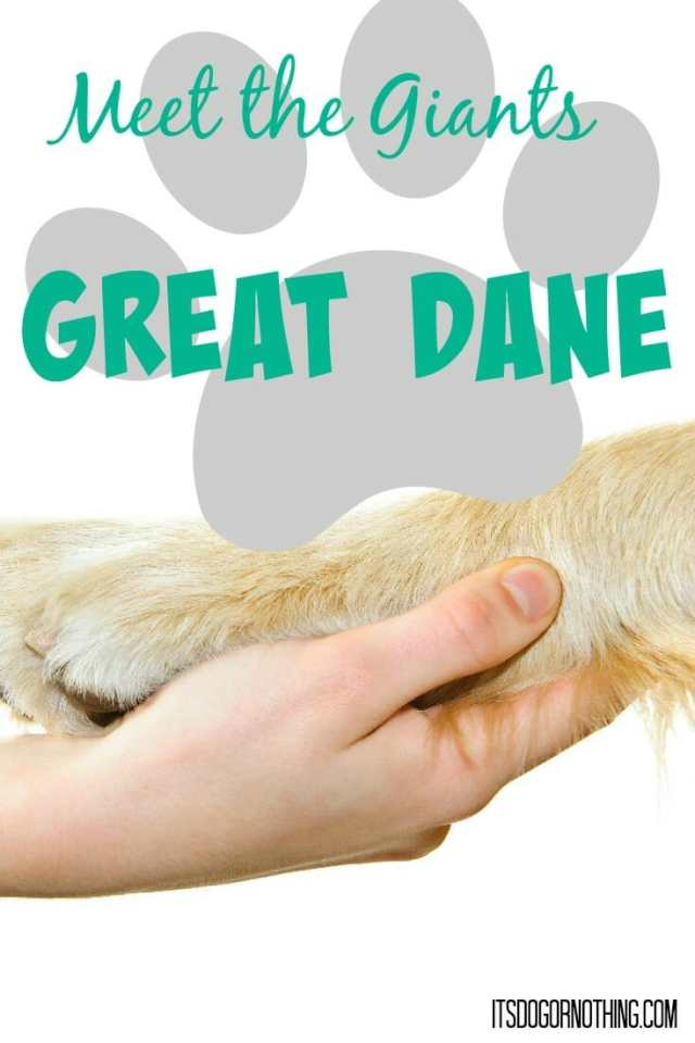 This week on Meet the Giants, the Great Dane! Come learn about this majestic breed with us!