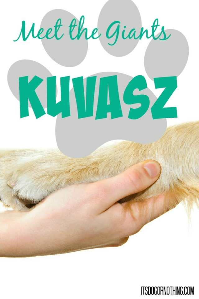 This week on Meet the Giants we're talking about the Kuvasz!