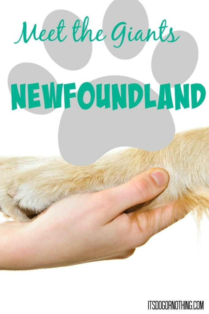 This week on Meet the Giants - the Newfoundland! Check back weekly for information about other giant breeds!