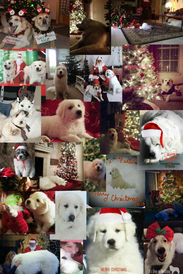 A collage of beautiful Great Pyrenees Christmas/holiday themed photos!