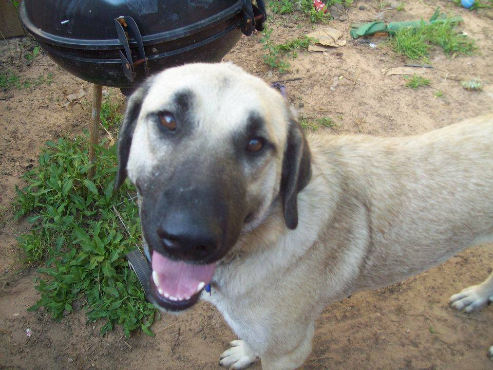Today on Meet the Giants, the Kangal! Head over to learn more information about this stunning livestock guardian dog.