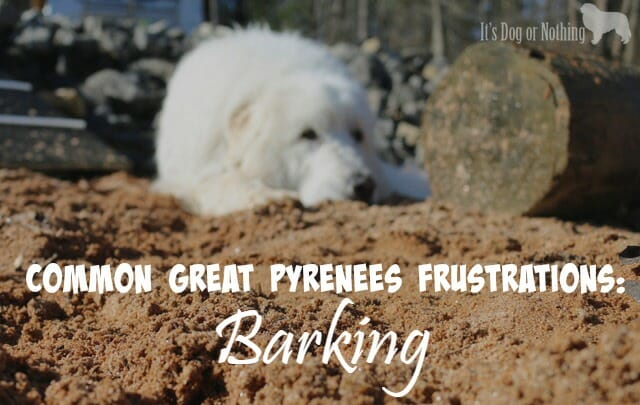 Great Pyrenees are often surrendered to rescues due to breed-specific trait. Here's what to expect and how to handle Great Pyrenees barking.
