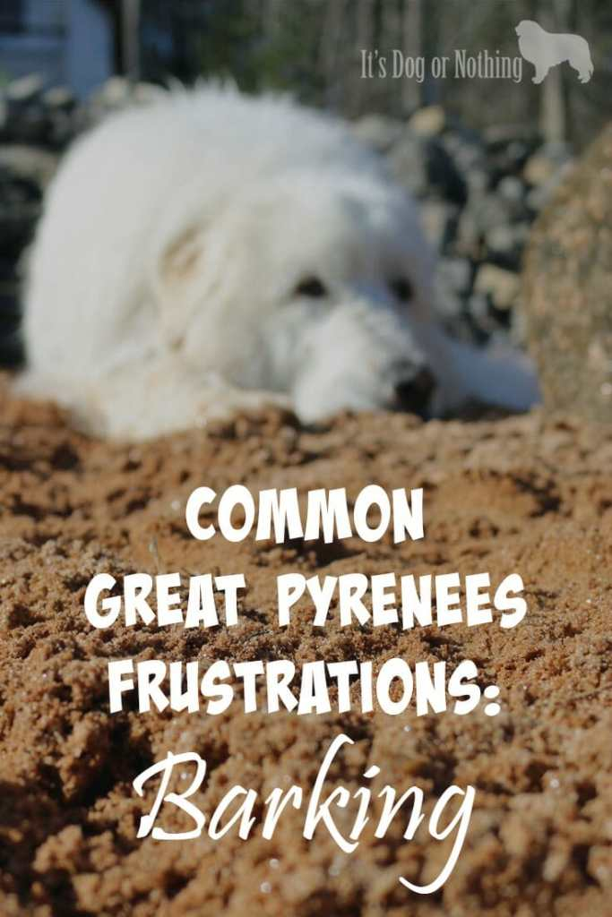 There are many reasons why Great Pyrenees are surrendered to rescue, but one very common reason is because Great Pyrenees bark more than most dogs.