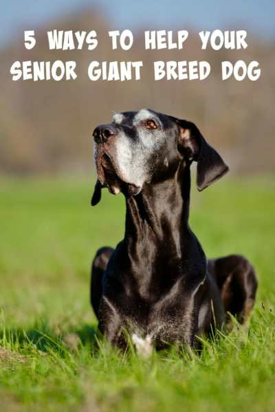 Is your giant breed dog starting to slow down as he gets older? We have 5 tips to help your senior giant breed dog live a long, pain-free life.