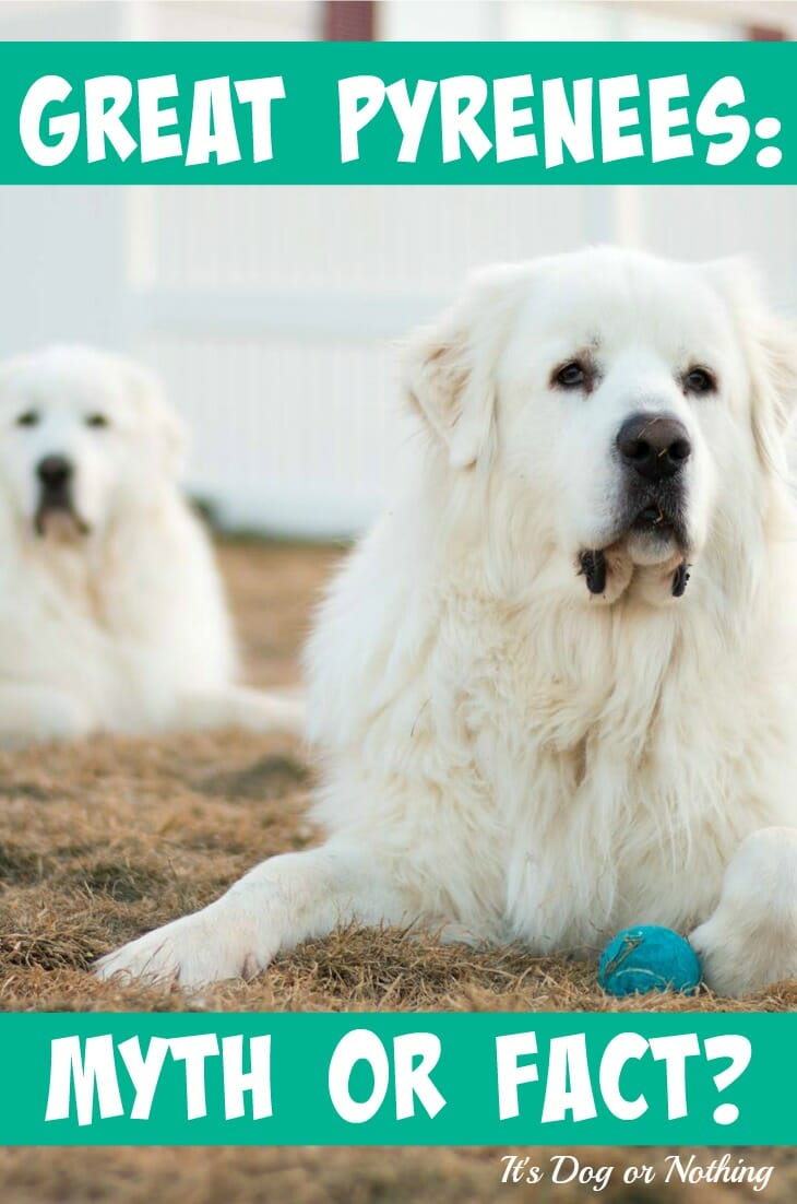 great pyrenees myth or fact it u0027s dog or nothing
