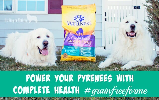 Does your dog show the 5 signs of wellness? Read why we're loving Wellness Complete Health to keep our Great Pyrenees happy and healthy!