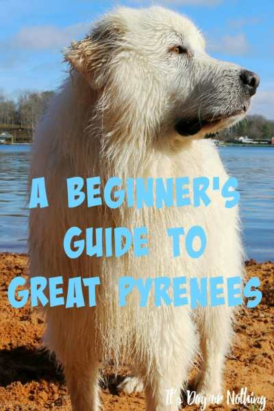 Have you thought about adding a Great Pyrenees to your family? Here's a basic guide to determine if a pyr might be a good fit!