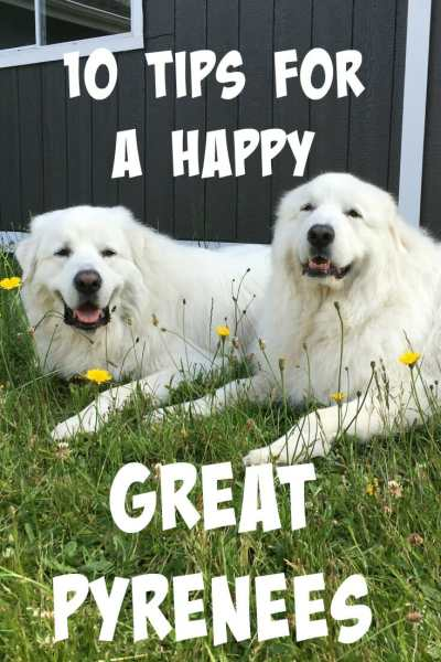 How do you keep your Great Pyrenees happy? Over the years, I've come up with my top 10 tips for a happy Great Pyrenees.