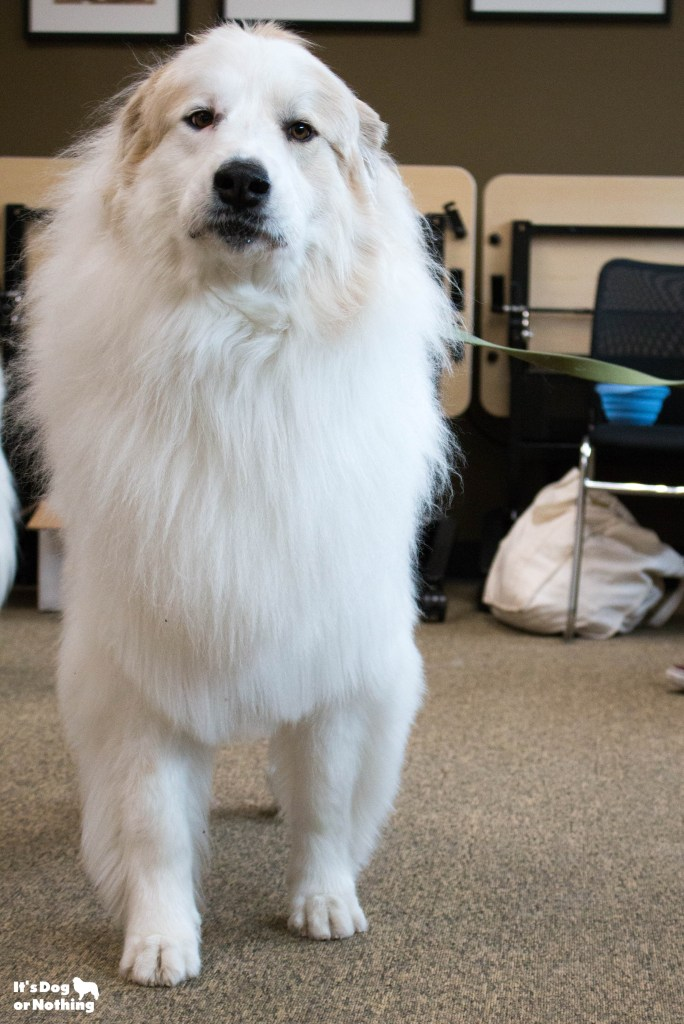 Ever wonder what it would be like to be in a room full of Great Pyrenees floof? Don't worry - we have plenty of pictures for you!
