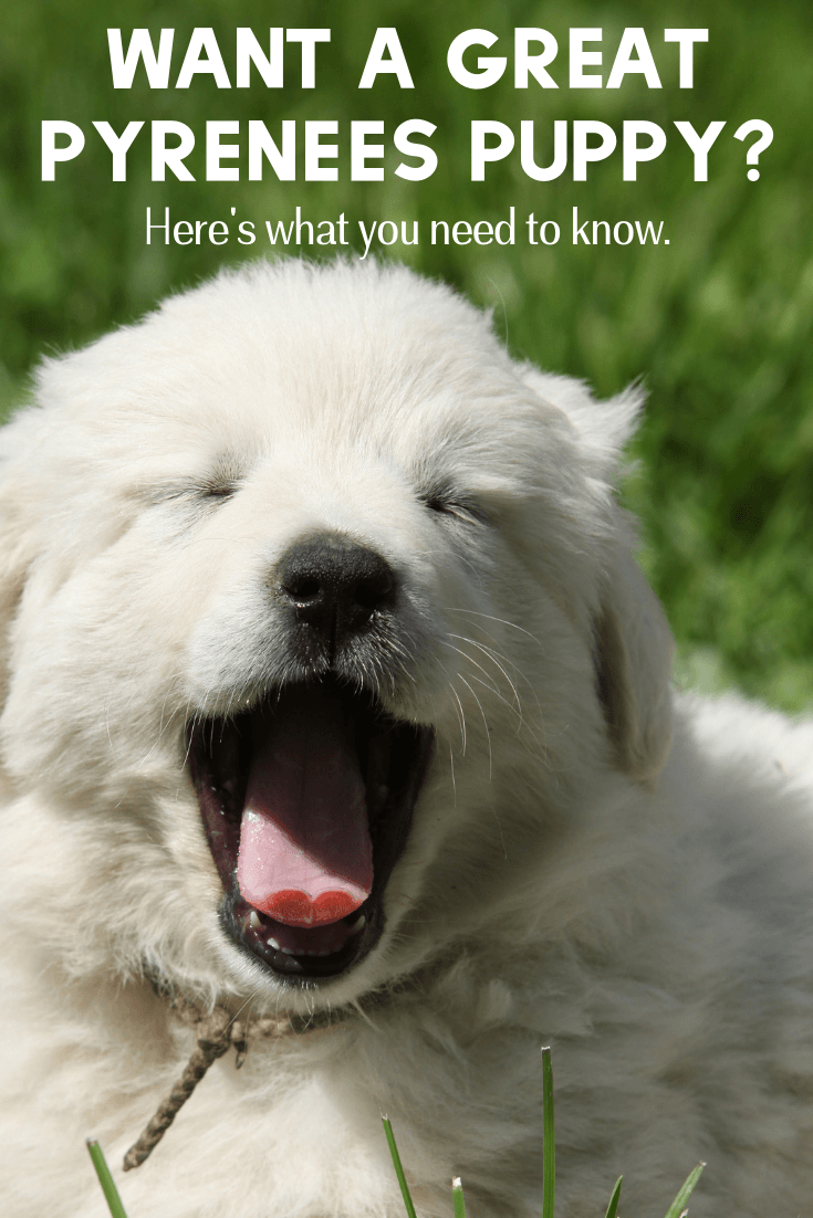 Do you want a Great Pyrenees puppy? Adding a Great Pyrenees puppy to your home is much different than any other breed, so here's what you need to know.