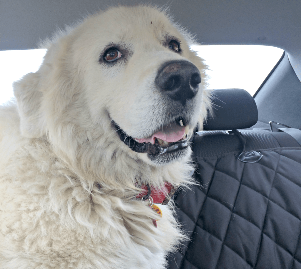 Sam | Great Pyrenees Rescue| It's Dog or Nothing