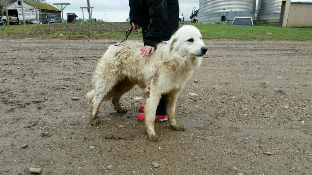Bud | Great Pyrenees Rescue| It's Dog or Nothing