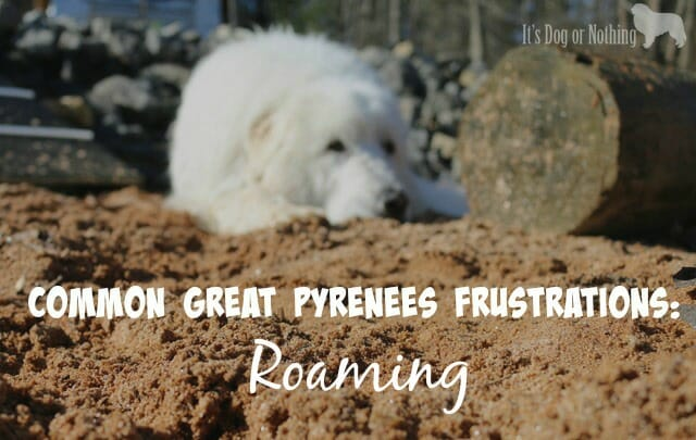 Great Pyrenees roaming is a problem most pyrents can understand. Here are our top tricks to prevent your dog from going on a solo adventure.