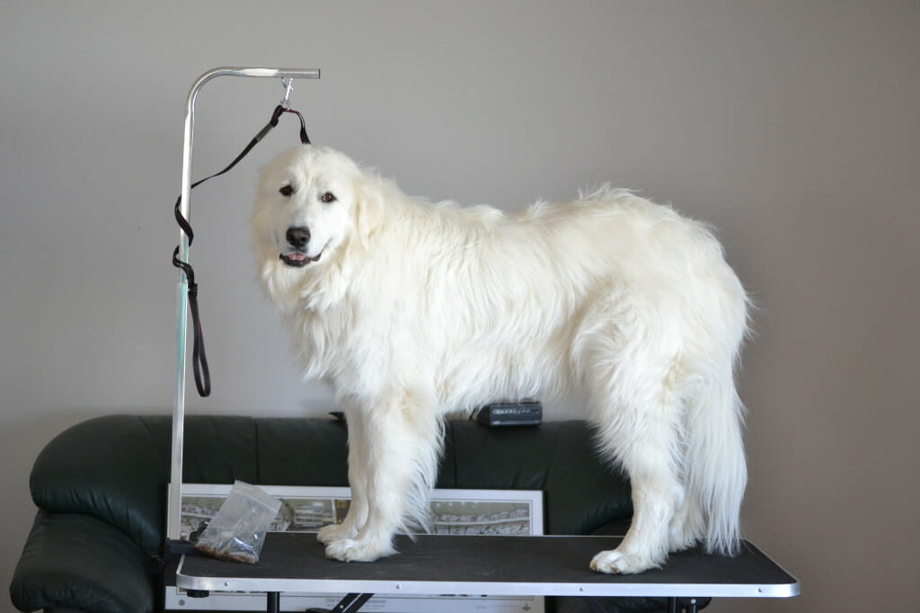 Grooming a double coated dog can be quite the task--not to mention time-consuming! Here's our basic guide for grooming a double coated dog.