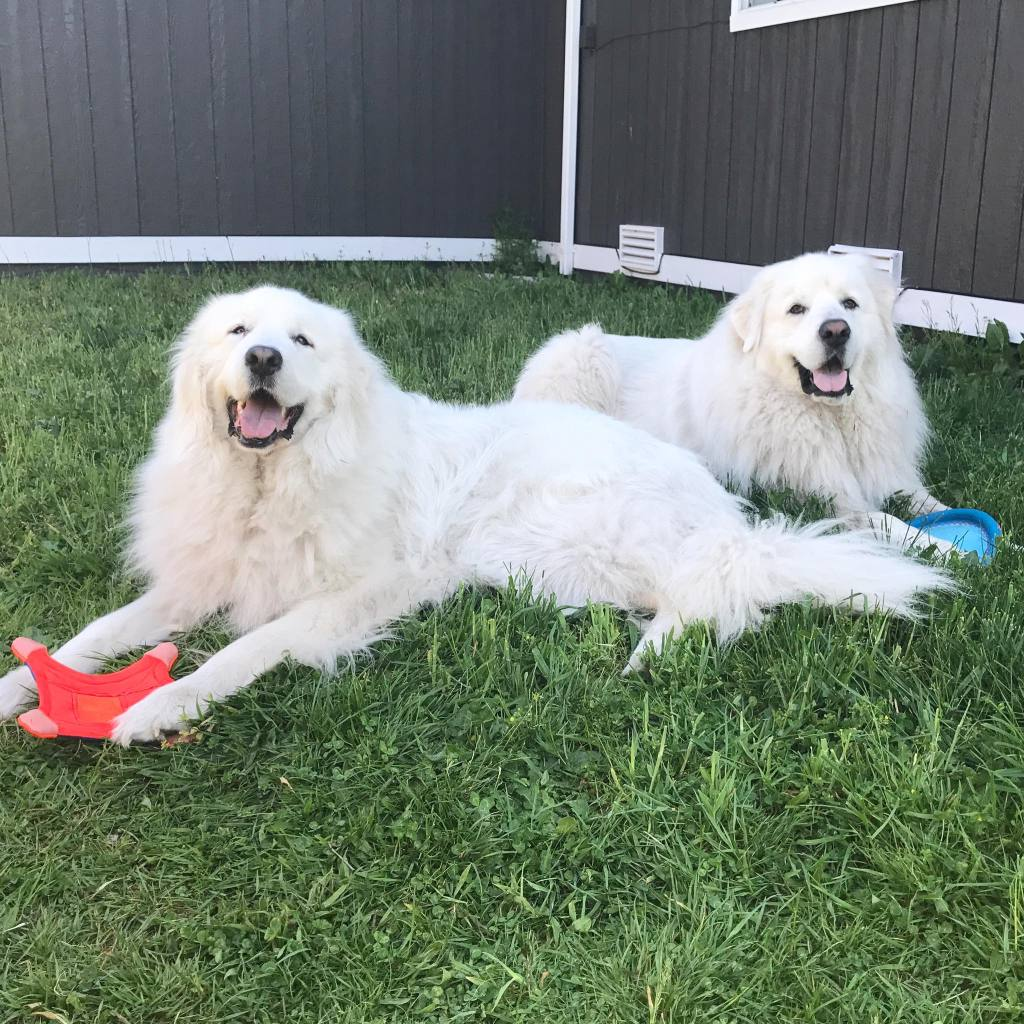 Great Pyrenees with toys