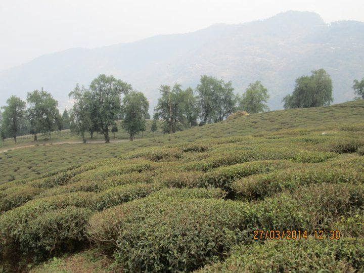 Tea gardens of north east India, Sikkim