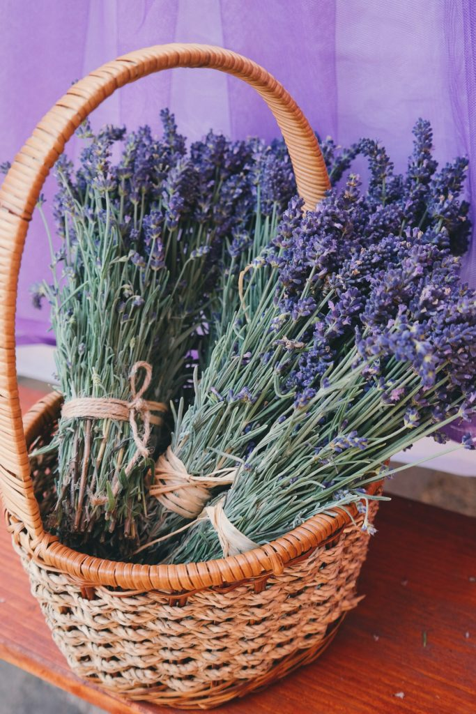 how to grow and care for purple and pink lavender and how to harvest lavender
