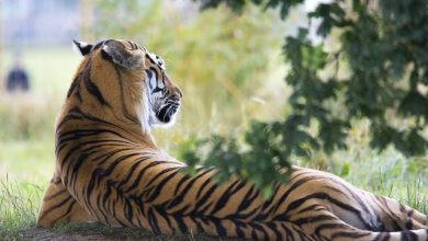Photo of Prowling Tiger spotted in Siolim