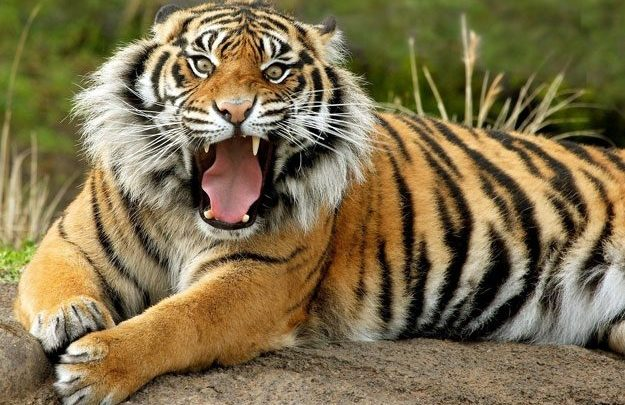Tiger spottings in Sattari